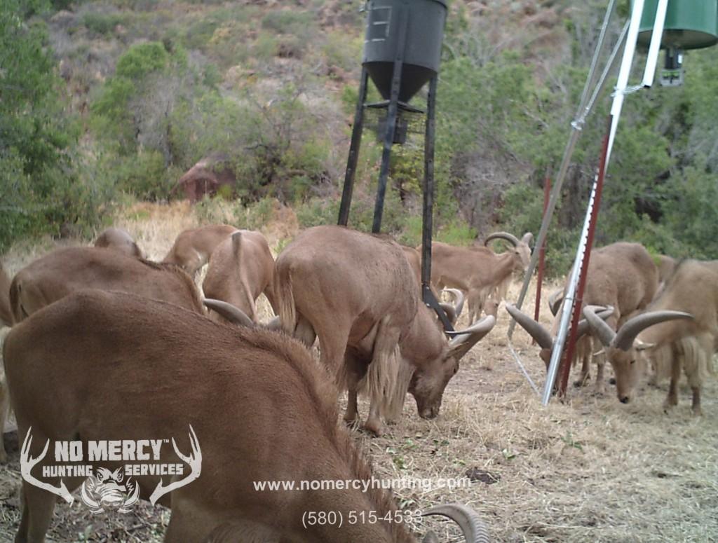 Free Range Aoudad Hunts